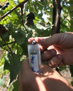 Израильские учёные вернут истоки виноделия.